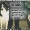 (Old) Moss ABC #104282 : Top Trial dog. Moss won numerous Open trials all over the country for me. He was ranked 4th in the Nation in 2001. He also bred well (Bobby Henderson's Bill is a grandson.)